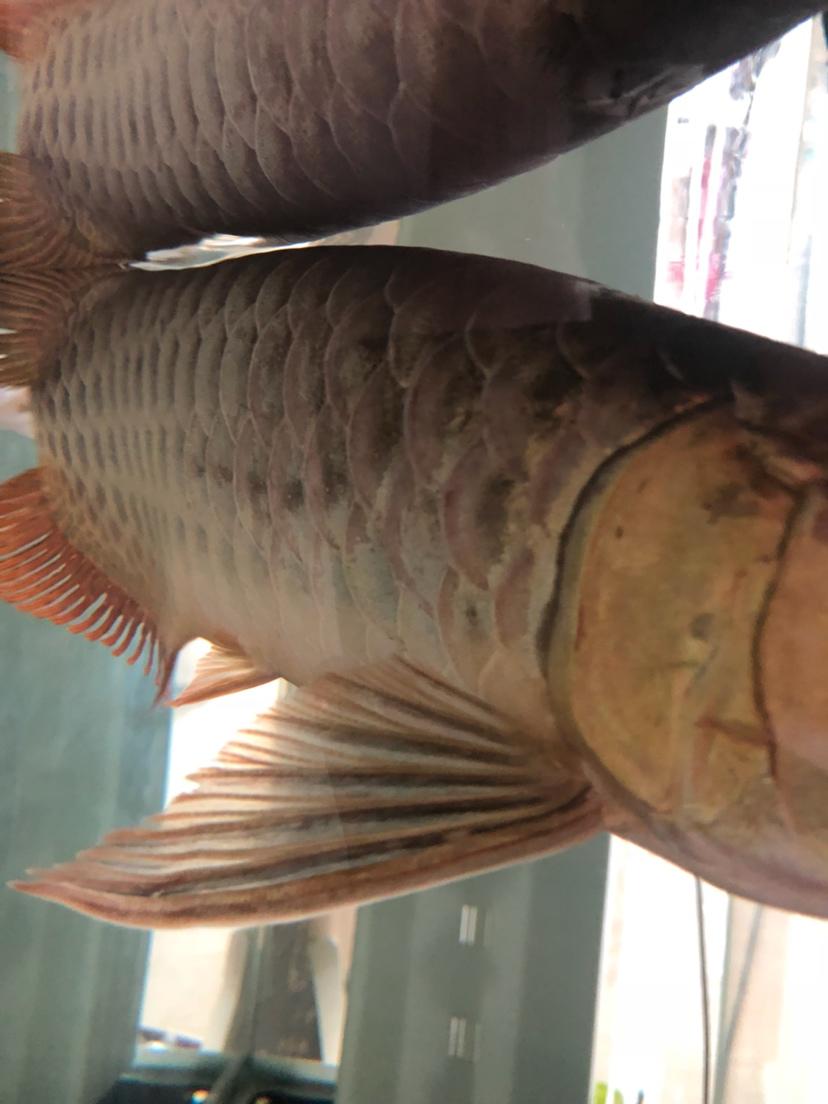 做过手术第二天发现鱼鳞这样了 怎么办 烟台龙鱼论坛 烟台龙鱼第4张