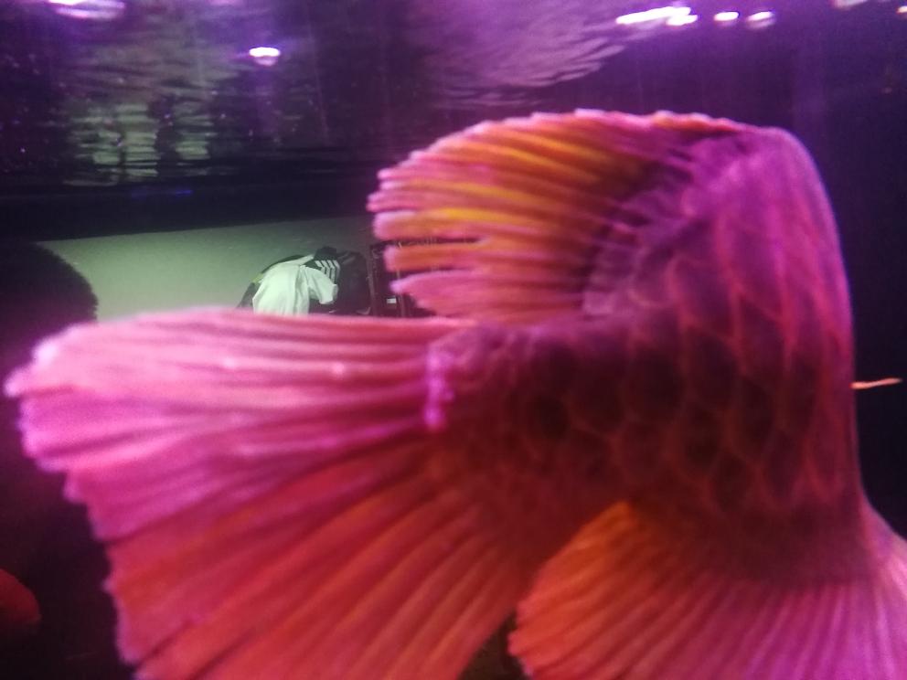 麻烦各位高手帮我看一下尾巴上这是什么问 上海水族批发市场 上海龙鱼第1张