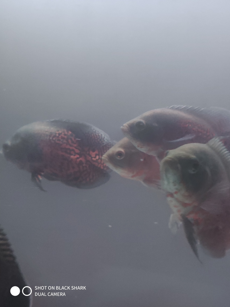 地图用腮蹭营口大花恐龙哪个店的最好缸鹦鹉鱼 营口观赏鱼 营口龙鱼第1张