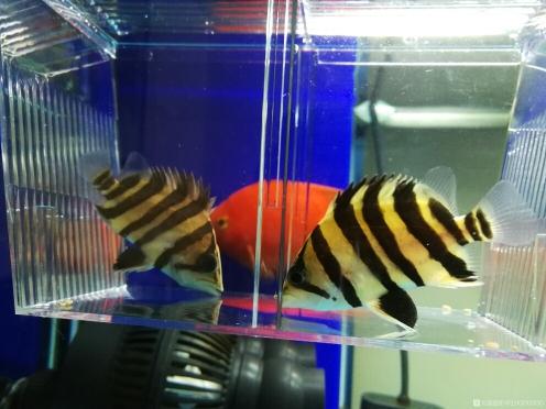 看看这个小虎 长沙龙鱼论坛