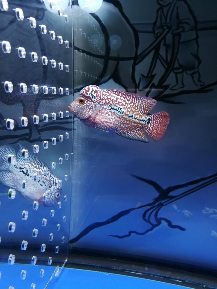 南京批发鼠鱼南京粗线银板批发市场更新下白灯下色彩更多 南京水族批发市场 南京龙鱼第4张