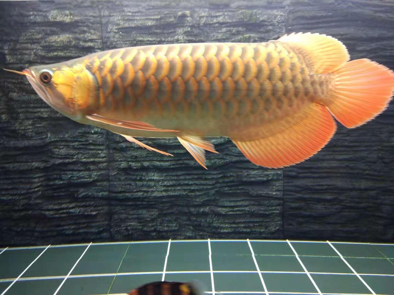 上侧灯2个月效果 台州龙鱼论坛 台州水族批发市场第5张