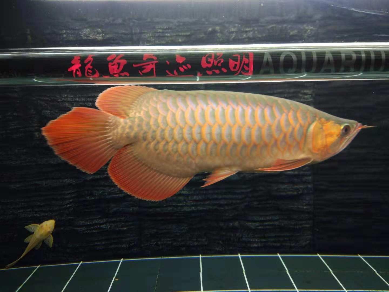 上侧灯2个月效果 台州龙鱼论坛 台州水族批发市场第2张