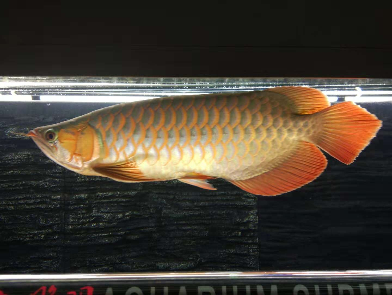 上侧灯2个月效果 台州龙鱼论坛 台州水族批发市场第3张