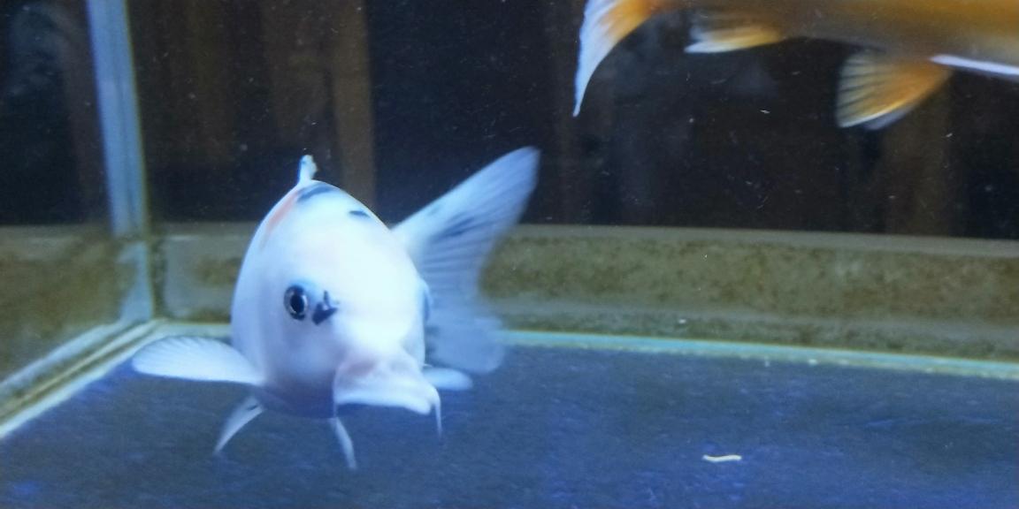 可怜济南济南哪个水族店有白化大白祥龙鱼场证书查询的鱼儿嘴巴脱了 济南观赏鱼 济南龙鱼第3张
