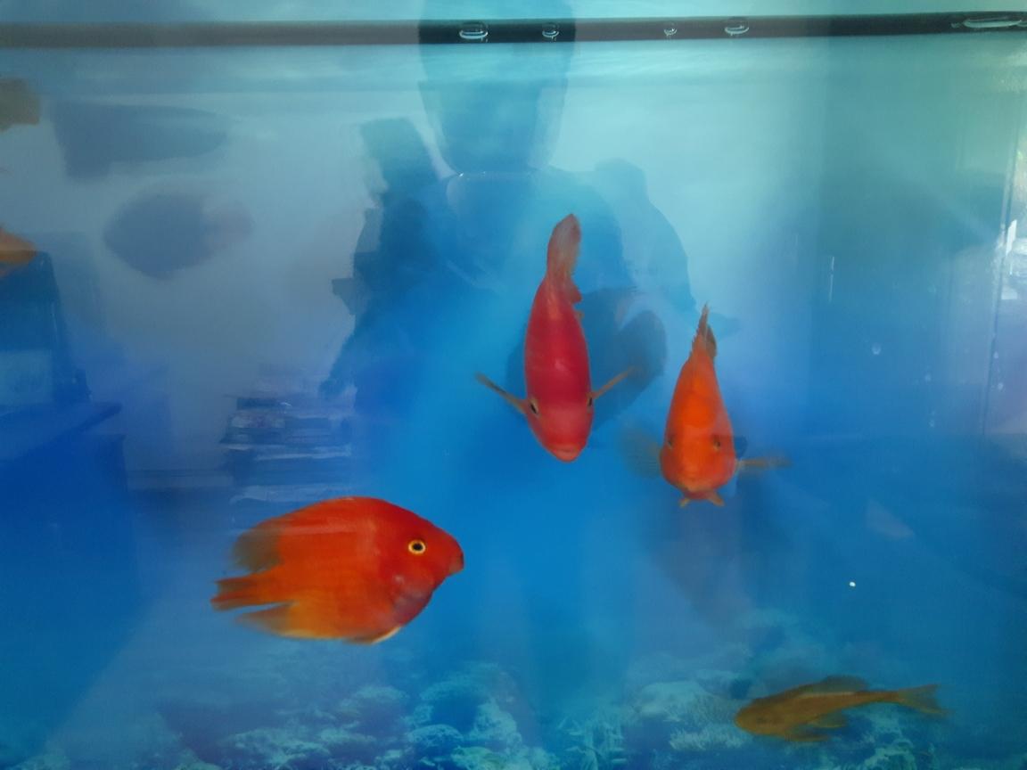 新近的小白正进行蜕变 元宝凤凰鱼相关 元宝凤凰鱼第3张