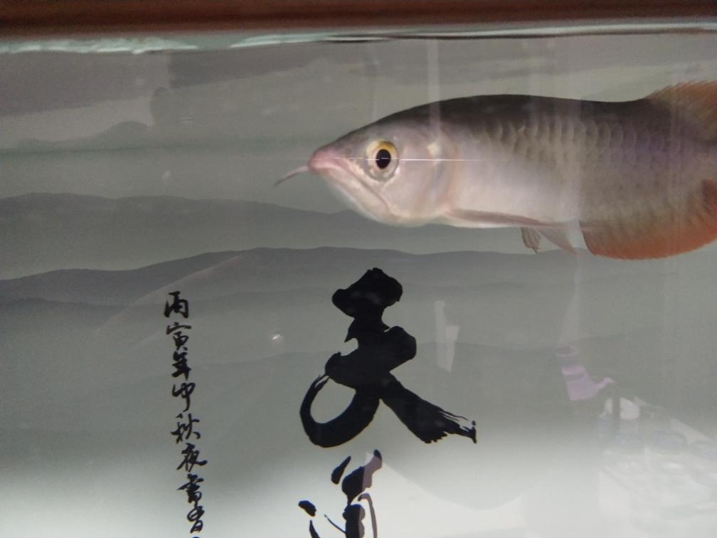 龙须断了还能长吗?这是什么品种多少钱 北京观赏鱼 北京龙鱼第1张