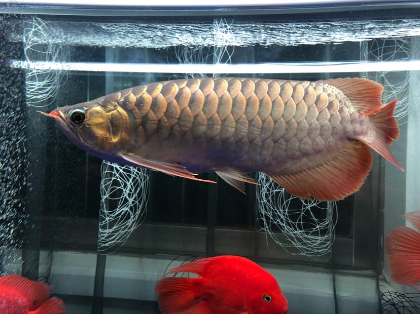 每天打卡龙鱼龙巅 兰州水族批发市场 兰州龙鱼第4张