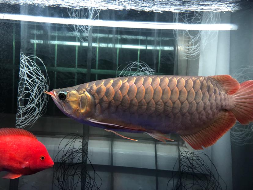 每天打卡龙鱼龙巅 兰州水族批发市场 兰州龙鱼第3张