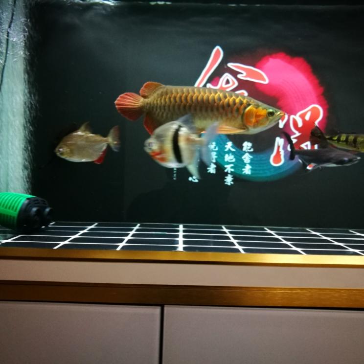 跟我快一年了 长沙观赏鱼 长沙龙鱼第4张
