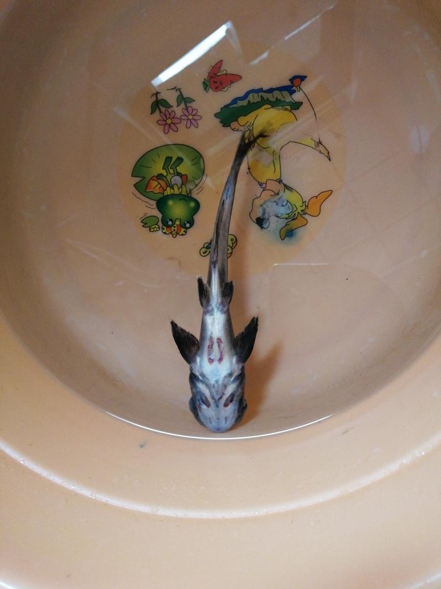 虎头鲨挂了龙鱼龙巅【西安皇冠黑白魟鱼】 西安观赏鱼信息