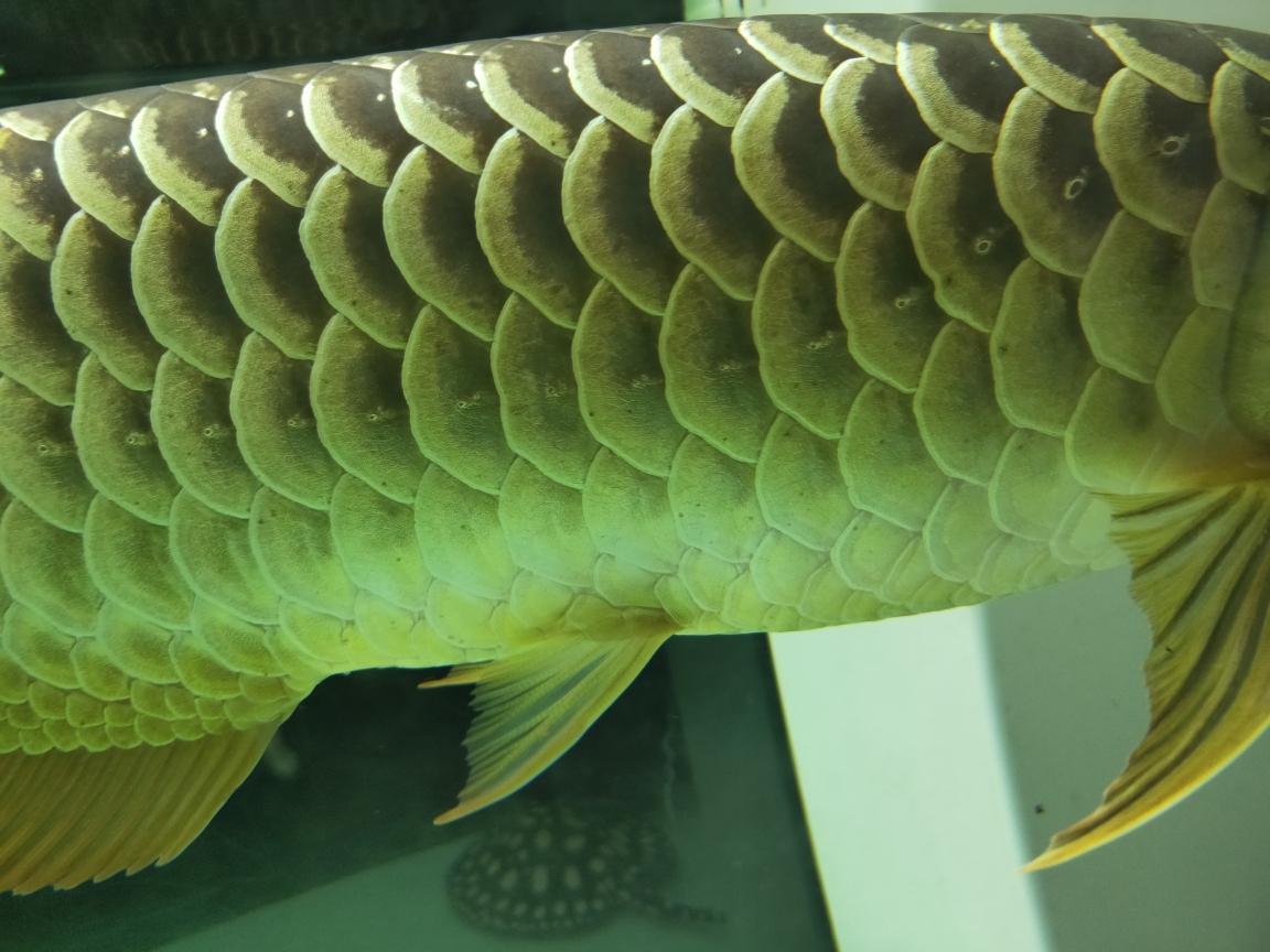 成都龙鱼和什么鱼混养最好金龙身上的小黑点怎么回事 成都龙鱼论坛 成都龙鱼第3张
