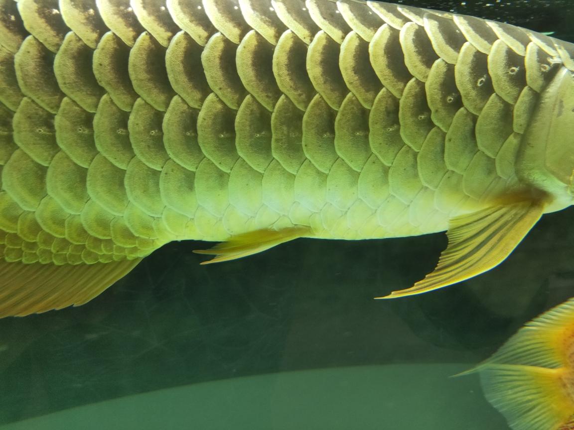 成都龙鱼和什么鱼混养最好金龙身上的小黑点怎么回事 成都龙鱼论坛 成都龙鱼第1张