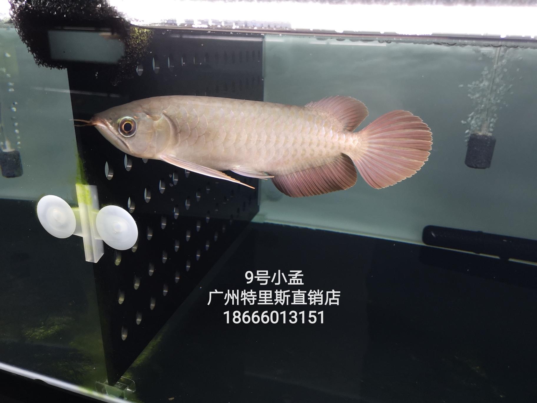 客厅鱼缸颜色9号小孟25公分 渭南水族批发市场 渭南龙鱼第1张