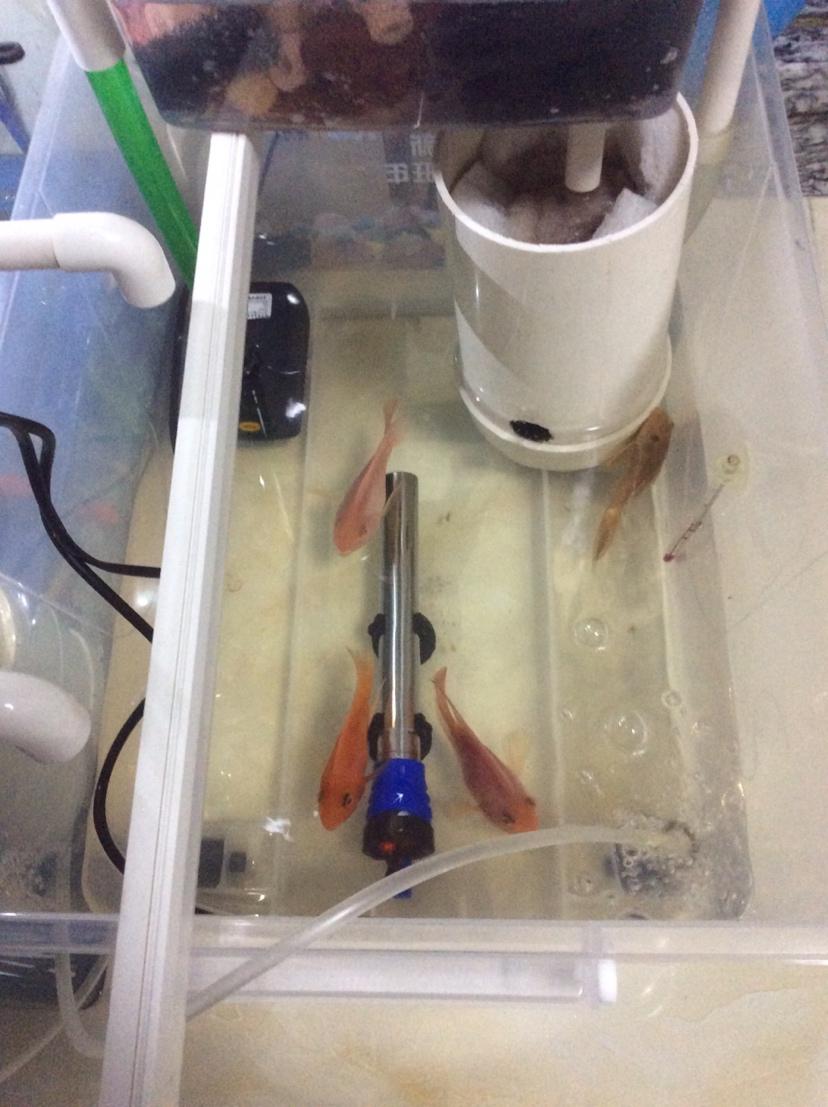 为什么鹦鹉鱼会变成这样 南充观赏鱼 南充水族批发市场第1张