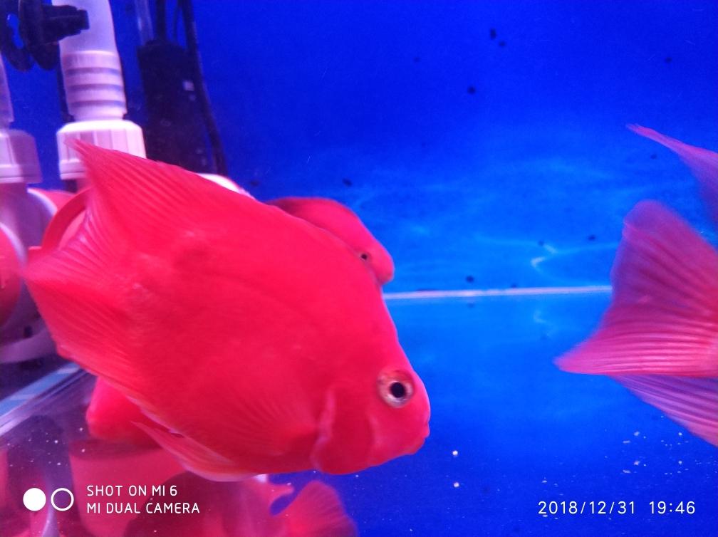 新年就烟台巴西亚鱼批发市场要红红火火 烟台龙鱼论坛 烟台龙鱼第4张