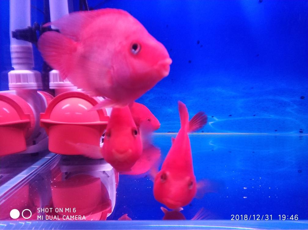 新年就烟台巴西亚鱼批发市场要红红火火 烟台龙鱼论坛 烟台龙鱼第9张
