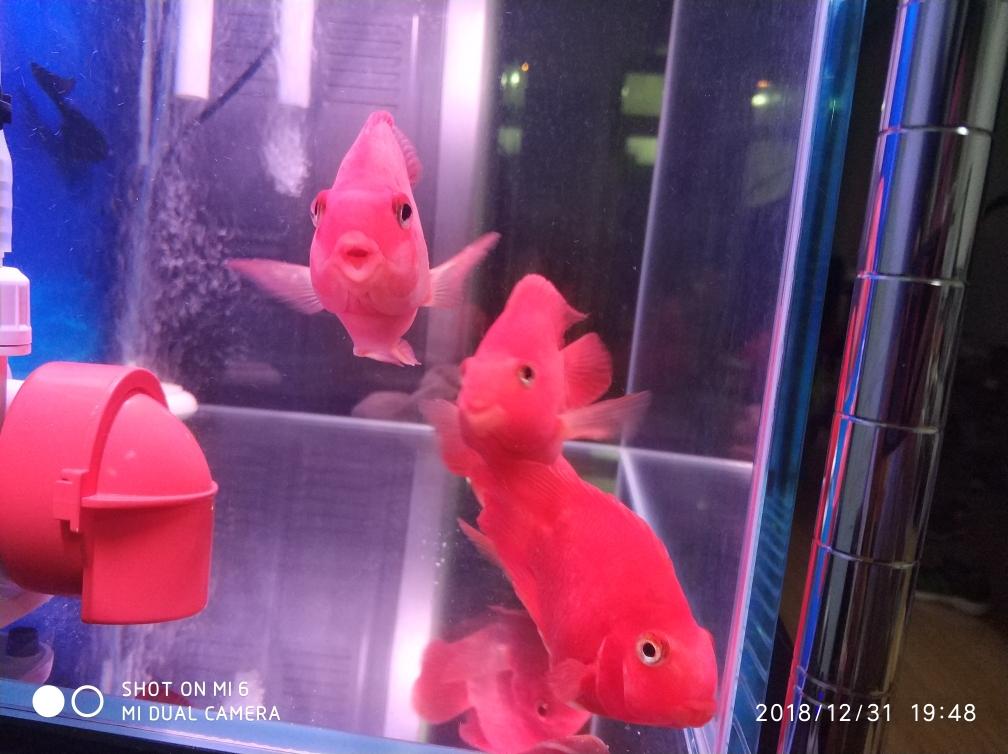 新年就烟台巴西亚鱼批发市场要红红火火 烟台龙鱼论坛 烟台龙鱼第3张
