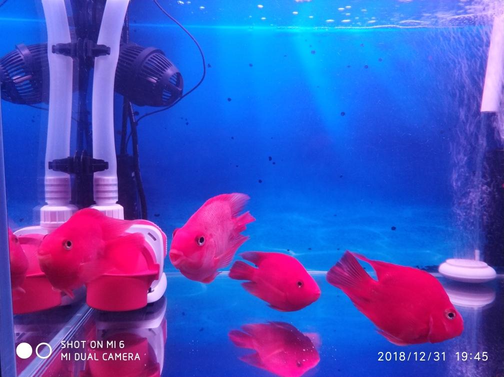 新年就烟台巴西亚鱼批发市场要红红火火 烟台龙鱼论坛 烟台龙鱼第7张