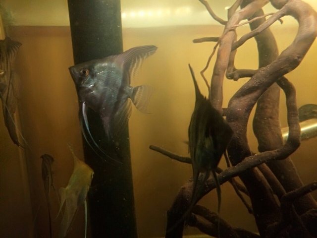怎么长得越来越不像秘鲁了呢? 南京水族批发市场 南京龙鱼第8张