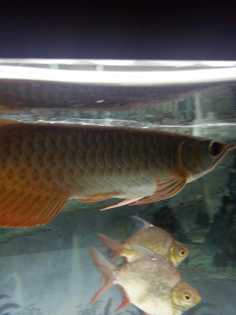 我在鱼邻申请智鱼产品体验师 西安水族批发市场 西安龙鱼第3张