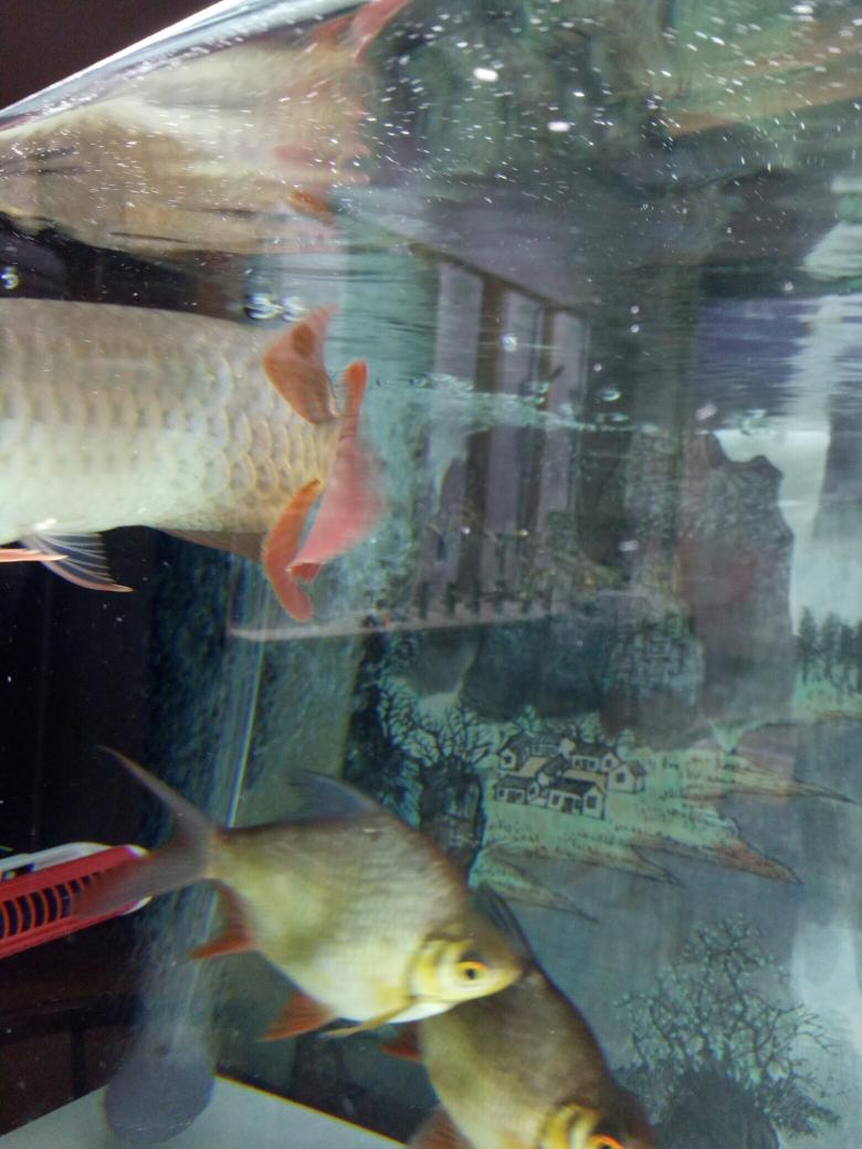 我在鱼邻申请智鱼产品体验师 西安水族批发市场 西安龙鱼第2张
