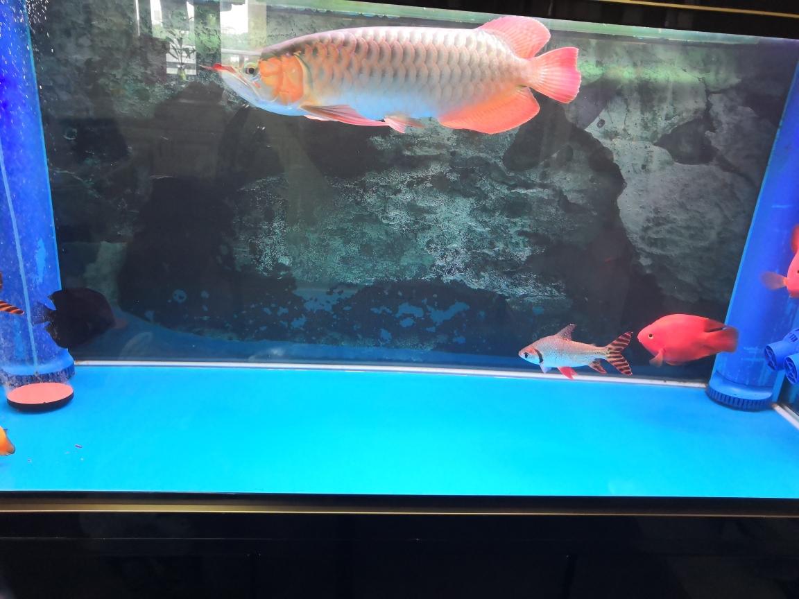 刚换完温州白子黑帝王魟鱼水龙鱼圈 温州龙鱼论坛 温州龙鱼第2张