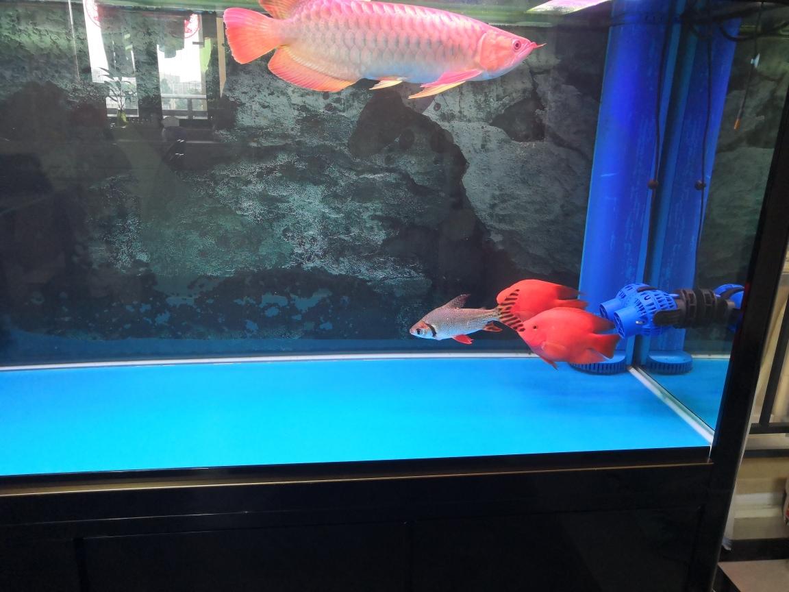 刚换完温州白子黑帝王魟鱼水龙鱼圈 温州龙鱼论坛 温州龙鱼第1张