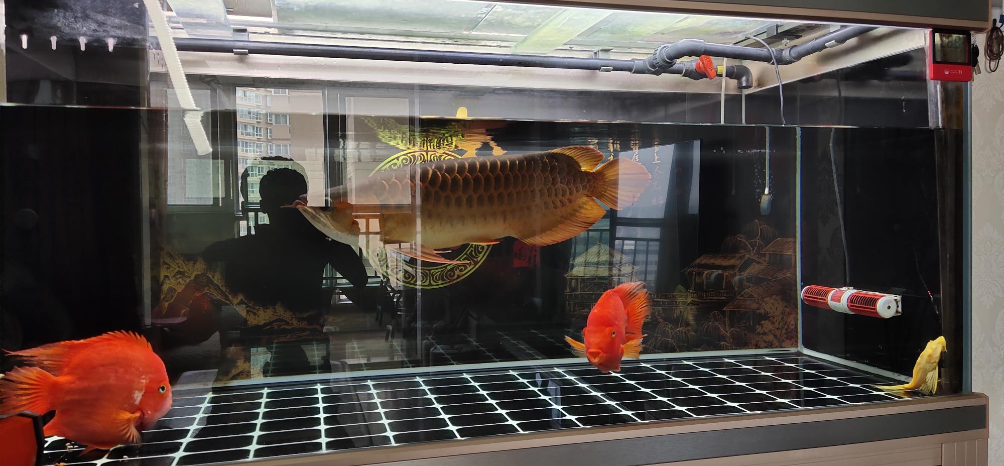 鄂州狗仔鲸(红尾猫)批发市场打卡换水时间 鄂州龙鱼论坛 鄂州龙鱼第3张