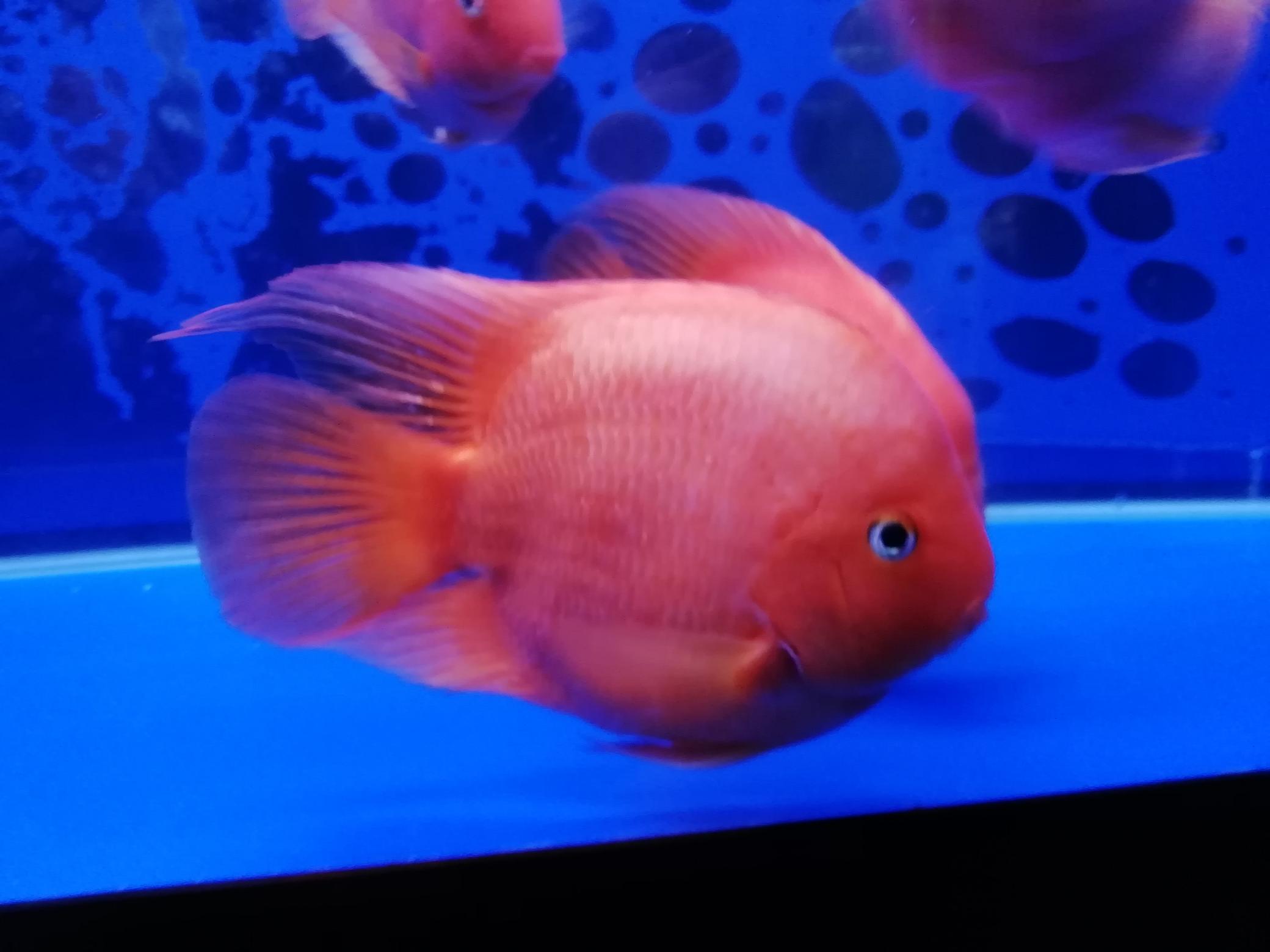 鄂州市花鸟鱼虫市场欣赏爱鱼 鄂州龙鱼论坛 鄂州龙鱼第2张