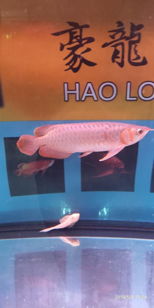 红龙红龙龙鱼圈 银川水族批发市场 银川龙鱼第3张