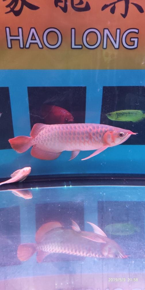 红龙红龙龙鱼圈 银川水族批发市场 银川龙鱼第1张
