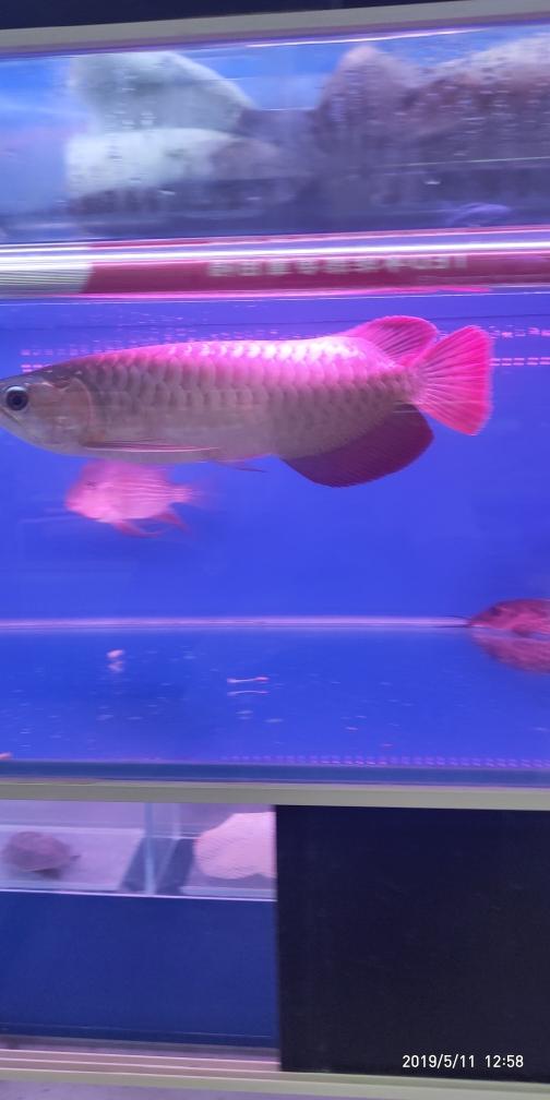 红龙红龙龙鱼圈 银川水族批发市场 银川龙鱼第2张