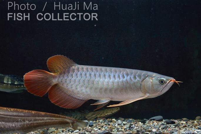 看銀粉還行龍魚圈 吉林觀賞魚 吉林龍魚第4張