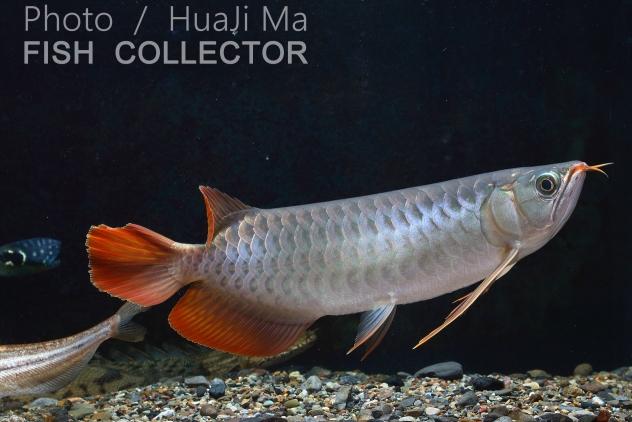 看銀粉還行龍魚圈 吉林觀賞魚 吉林龍魚第5張
