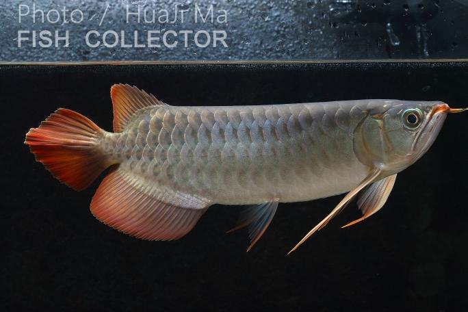 看銀粉還行龍魚圈 吉林觀賞魚 吉林龍魚第2張
