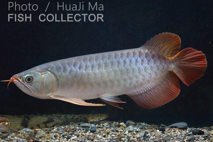 看銀粉還行龍魚圈 吉林觀賞魚 吉林龍魚第3張