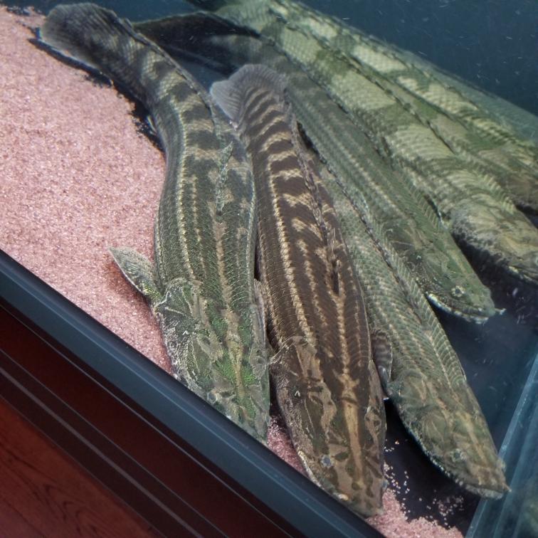 幾種恐龍王類猛魚圈 吉林觀賞魚 吉林龍魚第5張