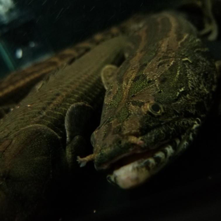 幾種恐龍王類猛魚圈 吉林觀賞魚 吉林龍魚第1張