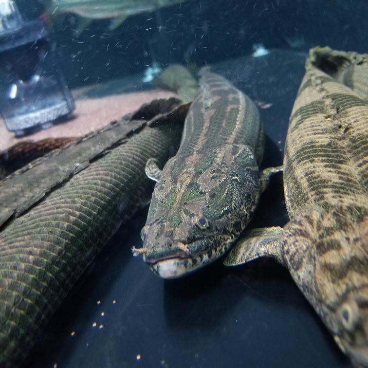 幾種恐龍王類猛魚圈 吉林觀賞魚 吉林龍魚第3張