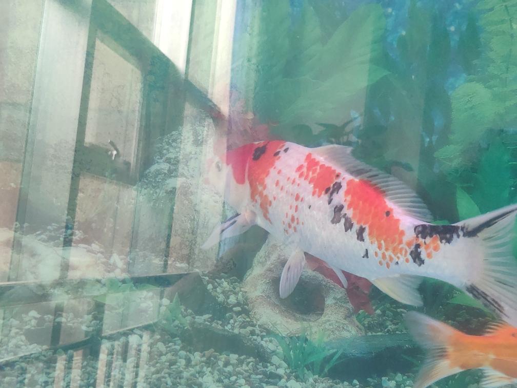 锦鲤鹿子三色 呼和浩特观赏鱼 呼和浩特龙鱼第3张
