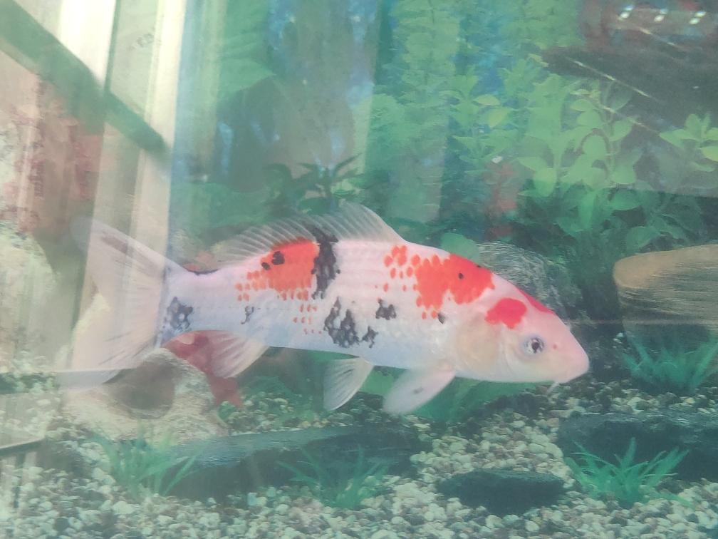 锦鲤鹿子三色 呼和浩特观赏鱼 呼和浩特龙鱼第2张
