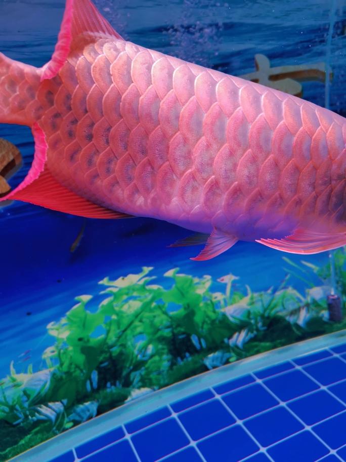 昆明雪龙龙鱼有点头朝下游,腹部有点胀大 昆明龙鱼论坛 昆明龙鱼第3张