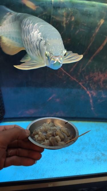 饿石家庄暹罗巨鲤(国宝级)了 石家庄水族批发市场 石家庄龙鱼第2张