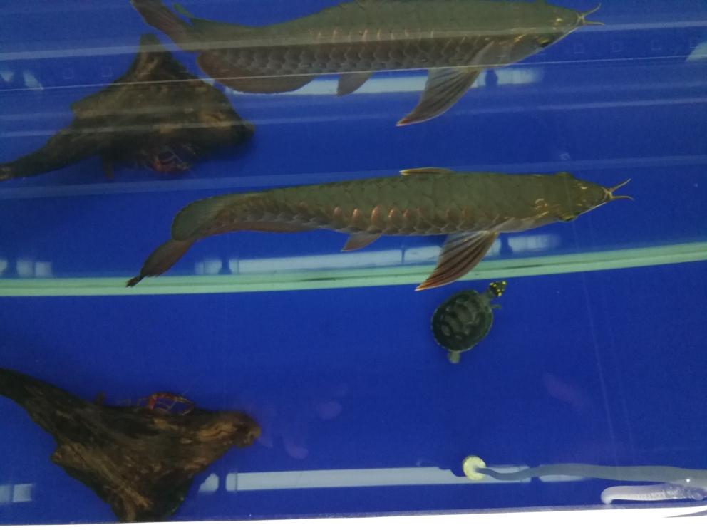 求救各位大神,龙鱼背部鼓包了,怎么办? 合肥观赏鱼 合肥龙鱼第9张