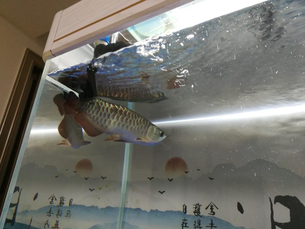 求救各位大神,龙鱼背部鼓包了,怎么办? 合肥观赏鱼 合肥龙鱼第5张