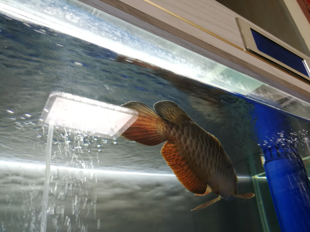 求救各位大神,龙鱼背部鼓包了,怎么办? 合肥观赏鱼 合肥龙鱼第8张