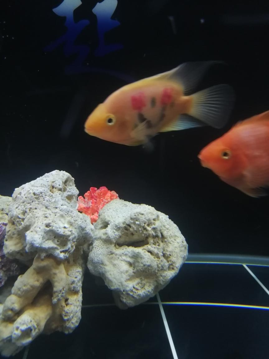 今天发现缸里珊瑚上好多这种白白的 南京水族批发市场 南京龙鱼第3张
