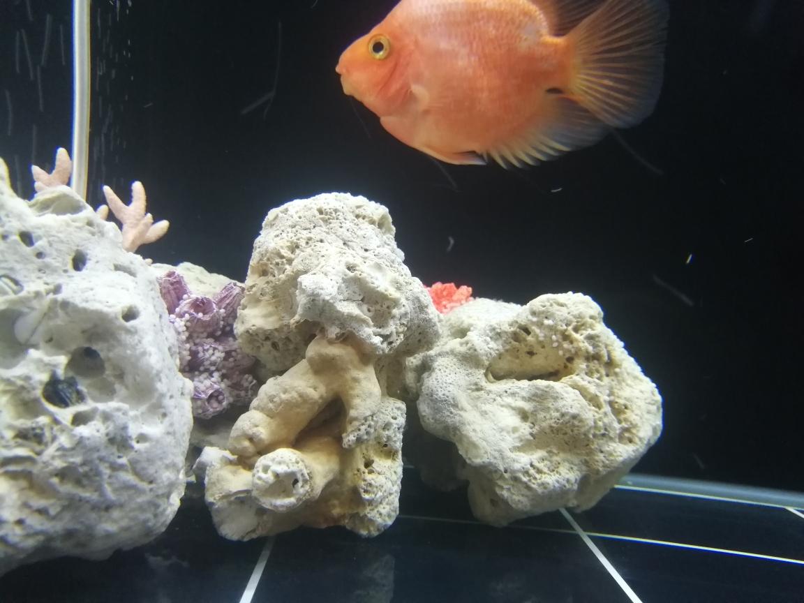 今天发现缸里珊瑚上好多这种白白的 南京水族批发市场 南京龙鱼第1张