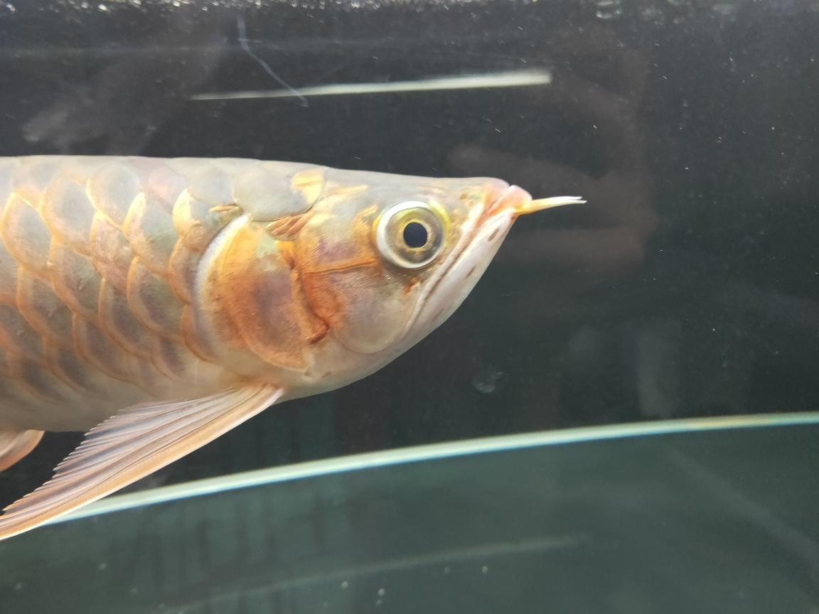入黑缸一个月以后得表现 南京龙鱼论坛 南京龙鱼第1张